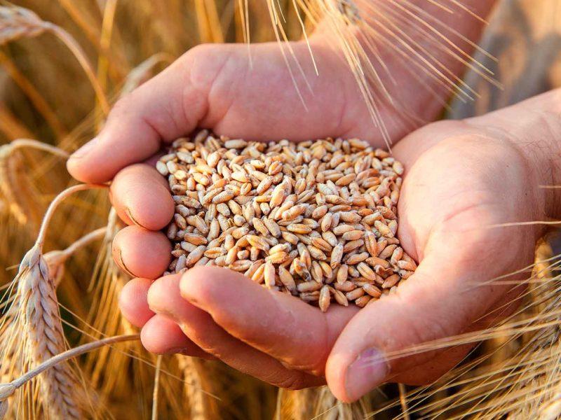 Seguro ajuda produtor de trigo