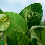 A presença do tripes nas lavouras de soja preocupa produtores