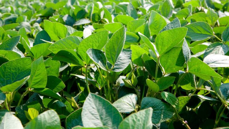 Syngenta lançará dois fungicidas para a lavoura de soja